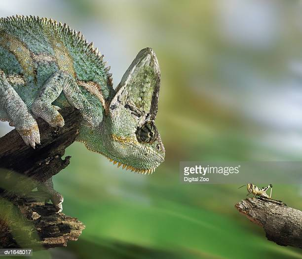 Johnstons Chameleon Face-to-Face With a Locust on a Branch