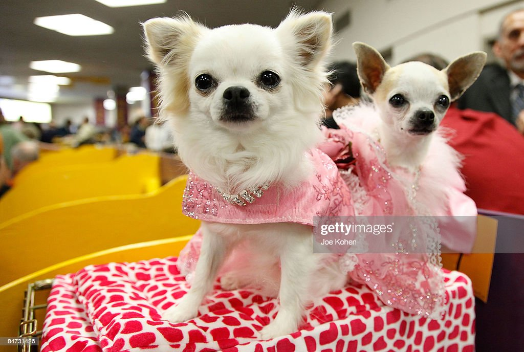 133rd Annual Westminster Kennel Club Dog Show - Day 2 : News Photo