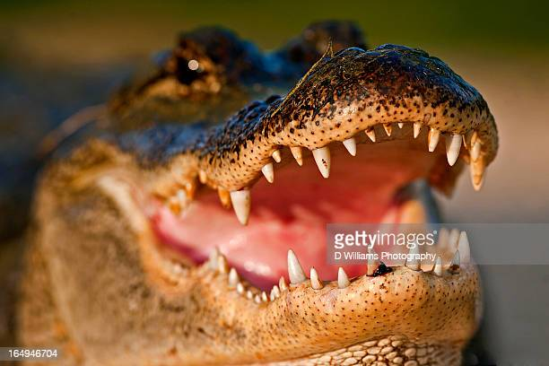 join me for dinner? - alligator stock photos and pictures