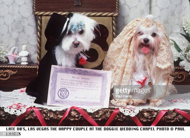 JoJo and Missi pose with their wedding certificate at a doggie wedding chapel Las Vegas Nevada March 17 1983