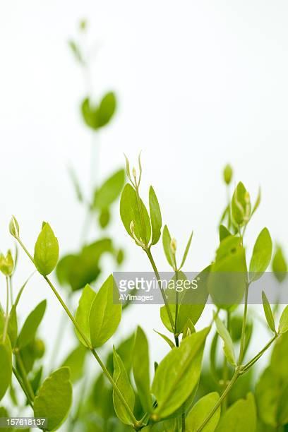 ジョジョバ(Simmondsia chinensis )