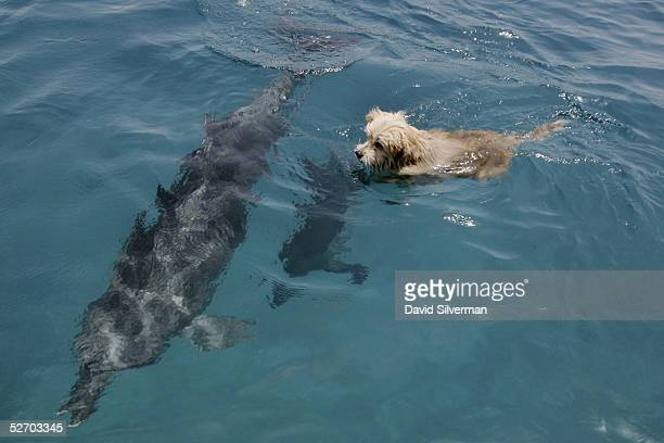 Joker, the resident terrier dog at the Dolphin Reef center, frolics with the attraction's bottlenose dolphins during his daily swim April 27, 2005 in...