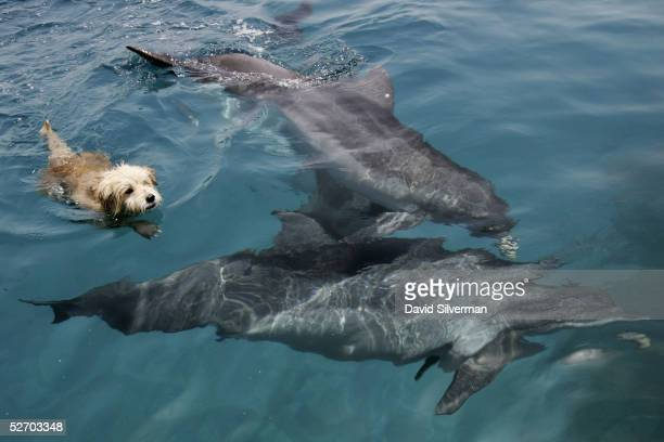 Joker the resident terrier dog at the Dolphin Reef center frolics with the attraction's bottlenose dolphins during his daily swim April 27 2005 in...