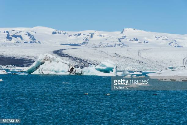 Jokulsarlon glacial lagoon with some Eider Ducks