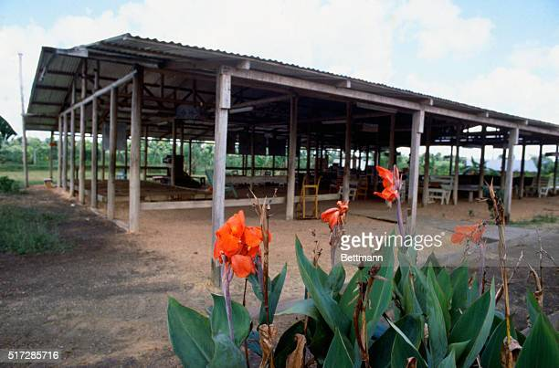 A 25man work crew of the Guyanese government is making a halfhearted attempt to keep the jungle from reclaiming Jonestown Flowers continue to grow...