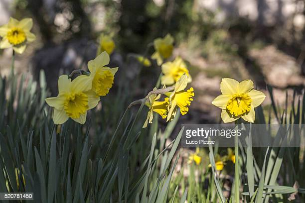 jonquil flowers plant - dew_point stock pictures, royalty-free photos & images