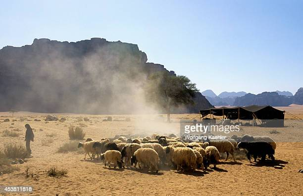 Jordan Wadi Rum Bedouin With Goats And Sheep At Lawerence's Spring Dust