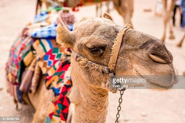 Jordanian Bedouin Camels