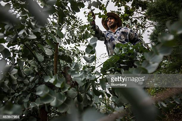 Jorge Graterol harvests eucalyptus to support his wife and children in Culebrilla Venezuela about 20 kilometers outside of Caracas on Wednesday June...