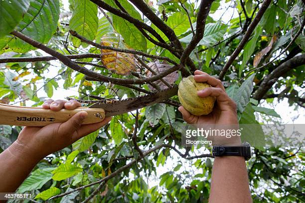 Jose Luis Garcia an owner of the G8 cooperative cocoa farm cuts a cocoa pod from a tree at the farm in the state of Tabasco near Comalcalco Mexico on...