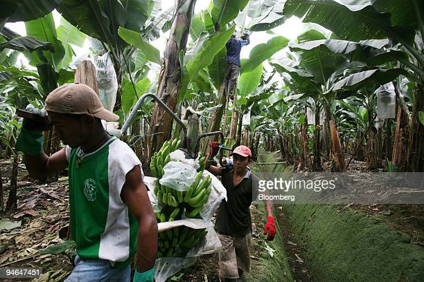 Jose Luis Robinson and Jose Munosa carry freshly cut bananas that will be pulled from the plantation to the packing zone in Hacienda Norma Guisella...