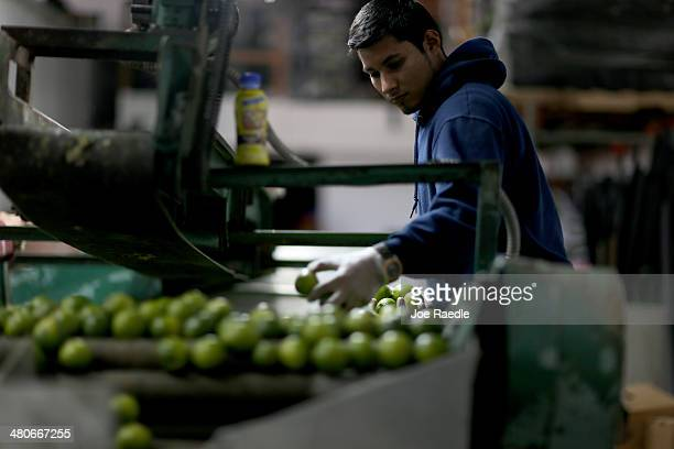 Jose Manuel Schrunder sorts limes that have been imported from Columbia at SA Mex produce on March 26, 2014 in Miami, Florida. Samuel Rosales from...