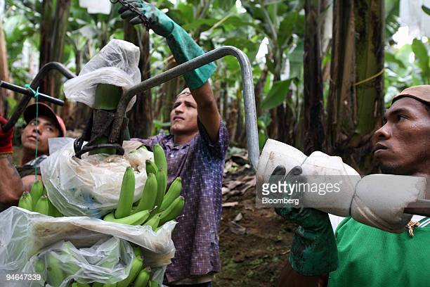 Jose Munosa Galo Cruz and Jose Luis Robinson hang freshly cut bananas that will be pulled from the plantation to the packing zone in Hacienda Norma...