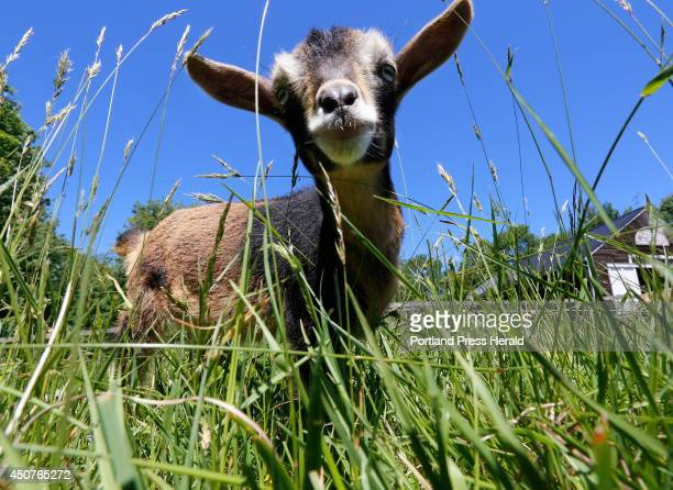 Josephine a baby goat grazes on grass at Sunflower Farm in Cumberland A video made of the baby goats running around the farm has become a viral...