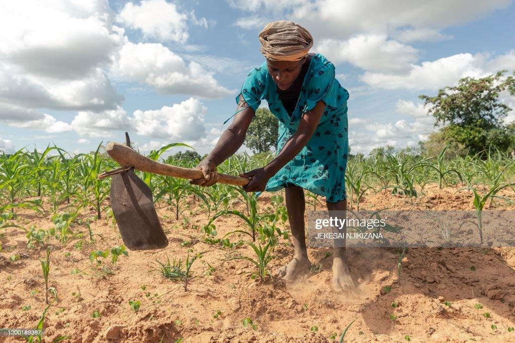 ZIMBABWE-DROUGHT-AGRICULTURE-ECONOMY : News Photo