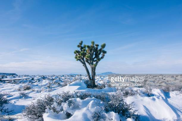 joshua tree (yucca brevifolia) among snow in desert in winter - joshua stock pictures, royalty-free photos & images