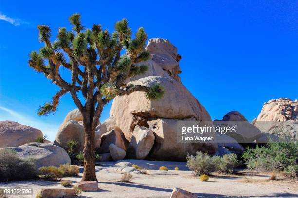 joshua tree and rock against blue sky - joshua tree stock photos and pictures
