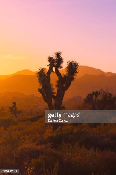 joshua tree at dusk - joshua tree stock photos and pictures