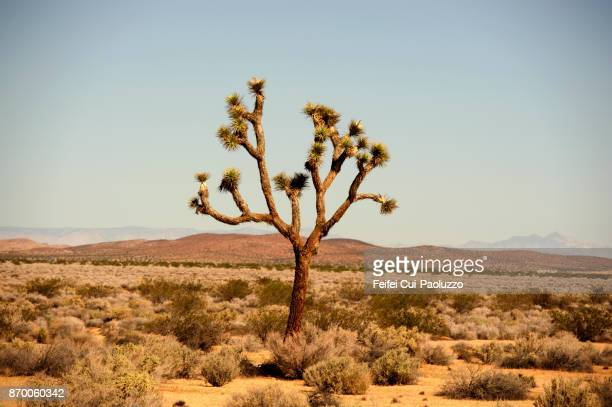 Joshua Tree at Mojave Desert, California State, USA