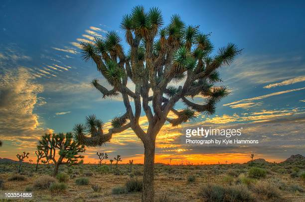 joshua tree at sunrise - joshua tree stock photos and pictures