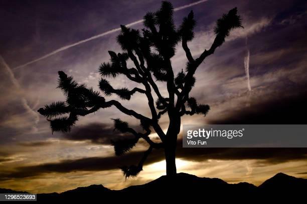 joshua tree california sunset silhouette chemtrails.jpg - chemtrails stock-fotos und bilder