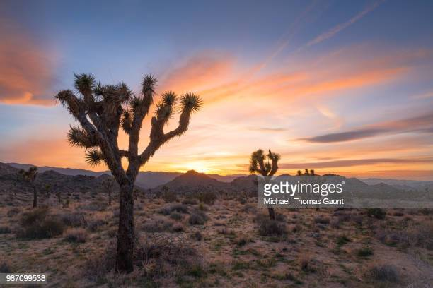 joshua tree during sunset in california, usa. - joshua tree stock photos and pictures