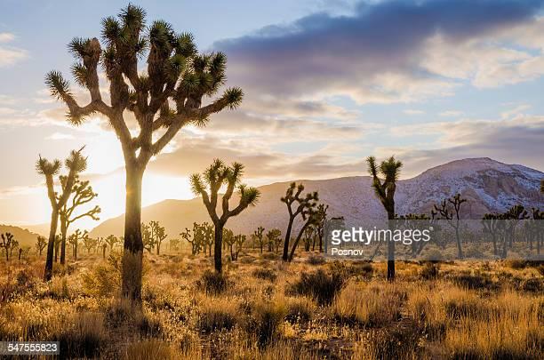 joshua tree forest - san bernardino california stock pictures, royalty-free photos & images