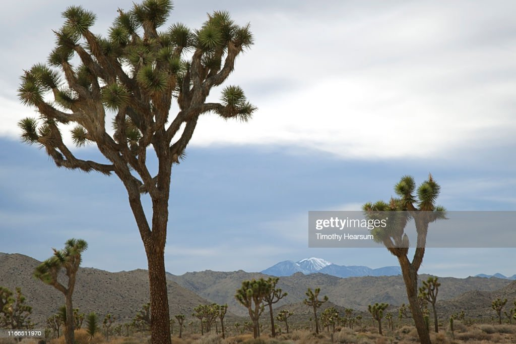 """Joshua Tree """"forest"""" with hills and snow covered mountain (San Gorgonio) in background : Stock Photo"""