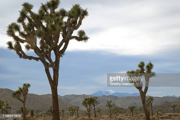 """joshua tree """"forest"""" with hills and snow covered mountain (san gorgonio) in background - timothy hearsum stockfoto's en -beelden"""