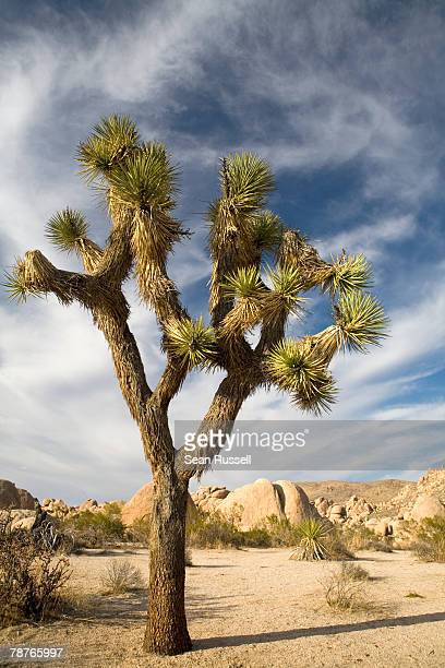 a joshua tree in an arid landscape - joshua tree stock photos and pictures
