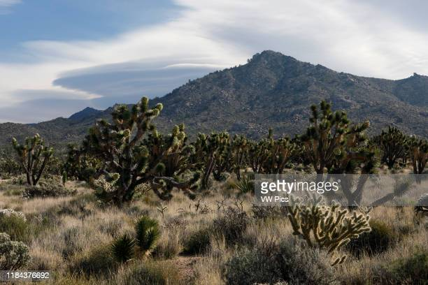 Joshua tree in bloom. Yucca brevifolia Photographed in Mojave National Preserve, California, USA. Along Mojave Road SE of Cima.