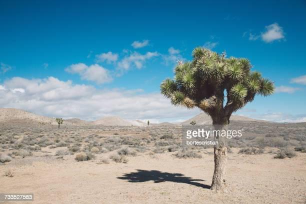 Joshua Tree In Desert Against Blue Sky