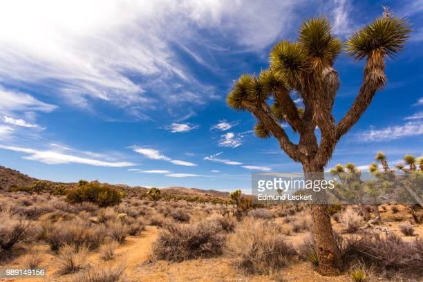 joshua tree landscape, joshua tree national park, california - leckert stock pictures, royalty-free photos & images