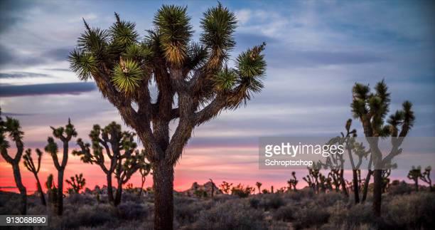夕暮れ、カリフォルニア ジョシュア ツリー国立公園