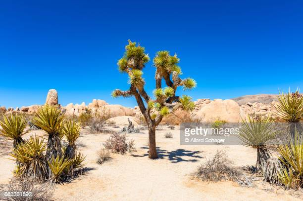 joshua tree national park ca - joshua stock pictures, royalty-free photos & images