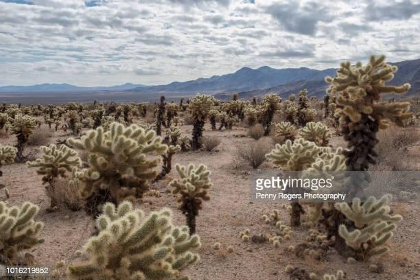 Joshua Tree NP cactus garden
