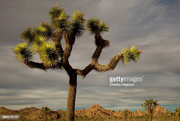 joshua tree on a cloudy day; mountains beyond - timothy hearsum stock photos and pictures