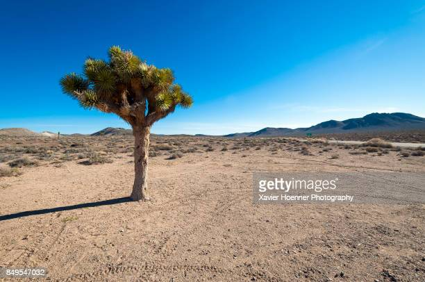 Joshua Tree | Panamint Springs, Death Valley