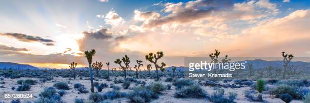 joshua tree panorama - joshua tree stock photos and pictures