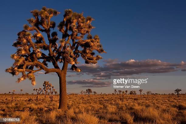 joshua tree (yucca brevifolia) - nature stockfoto's en -beelden