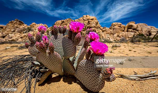 joshua tree - joshua tree stock photos and pictures