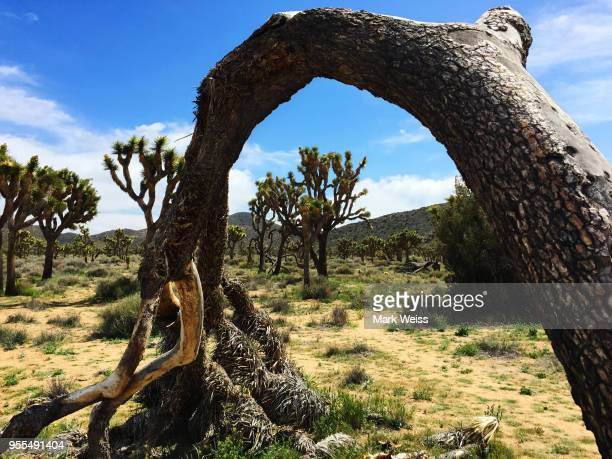joshua tree - tree with thorns on trunk stock photos and pictures