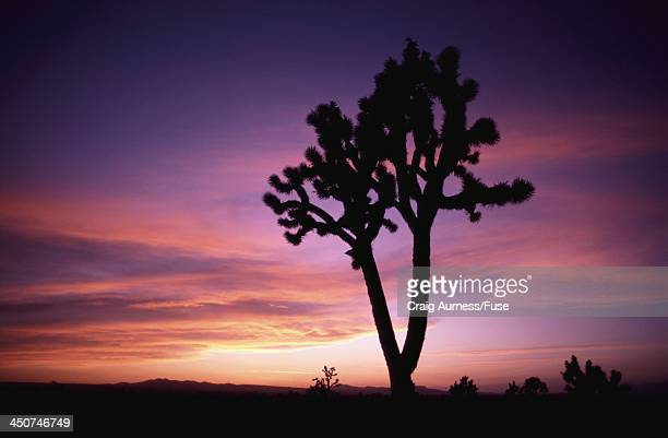 joshua tree silhouetted by sunset - public domain stock pictures, royalty-free photos & images