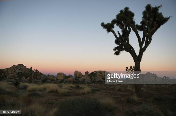 Joshua tree stands at Joshua Tree National Park on January 4 2019 in Joshua Tree National Park California Campgrounds and some roads have been closed...