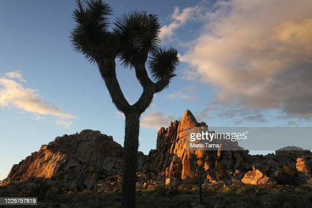 Joshua tree stands in Joshua Tree National Park one day after the park reopened after being closed for two months due to the coronavirus pandemic on...