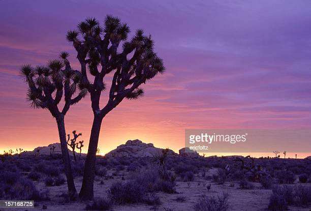 joshua tree sunrise - joshua tree stock photos and pictures