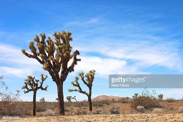 Joshua Tree Trio