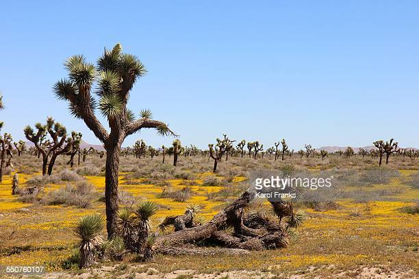 Joshua tree with yellow wildflowers