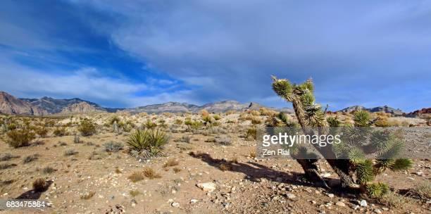 Joshua Tree -Yucca brevifolia in Mojave Desert in Red Rock Canyon, Nevada
