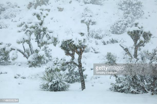 joshua trees and other desert plants laden with snow on a hillside as snowstorm continues - timothy hearsum stock pictures, royalty-free photos & images